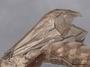 45260 Dorylus orientalis P 2 IN