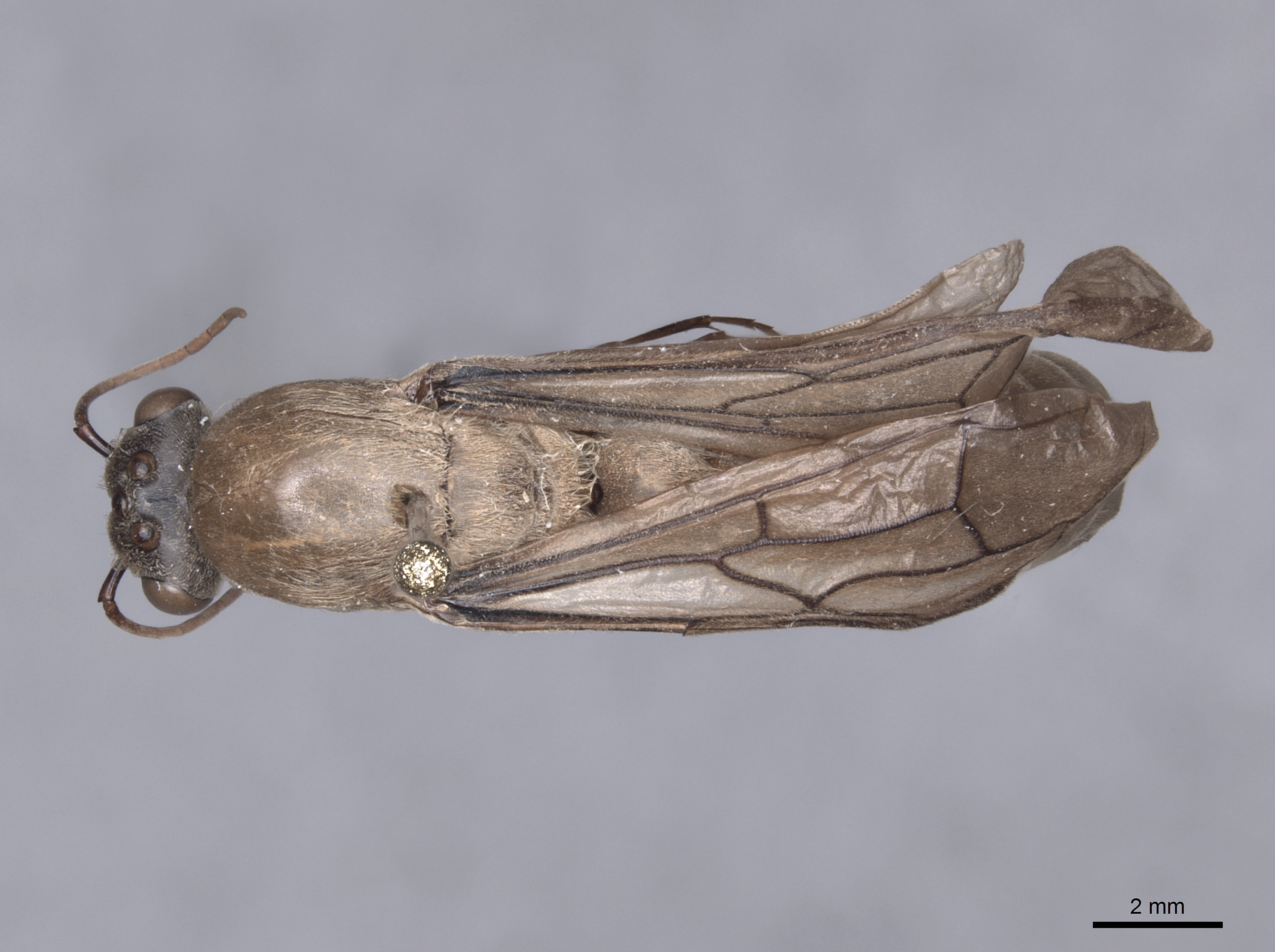 Image of Dorylus orientalis