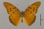 124234 Agraulis vanillae maculosa d IN