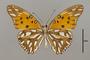124234 Agraulis vanillae maculosa v IN