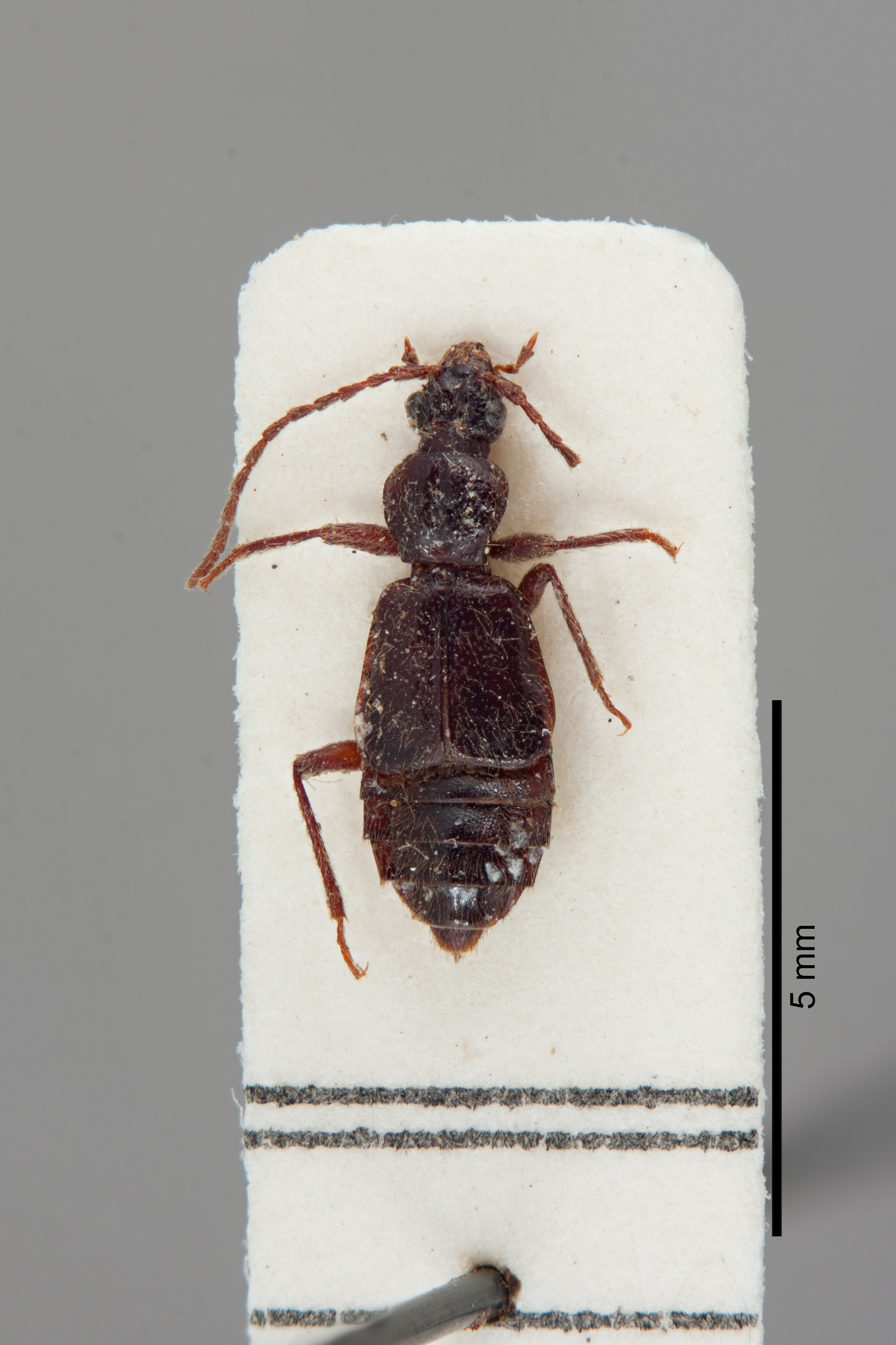 Image of Geodromicus szechwanensis