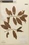 Virola multiflora (Standl.) A. C. Sm., Nicaragua, G. R. Proctor 26980, F