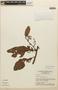 Virola calophylla (Spruce) Warb., BRAZIL, F