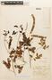Albizia pistaciifolia image