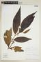 Virola theiodora (Spruce ex Benth.) Warb., PERU, F