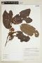 Virola theiodora (Spruce ex Benth.) Warb., BRAZIL, F