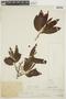 Virola flexuosa A. C. Sm., PERU, F