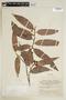 Virola cuspidata (Spruce ex Benth.) Warb., COLOMBIA, F