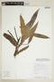 Virola elongata (Benth.) Warb., BOLIVIA, F