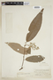 Virola elongata (Benth.) Warb., PERU, F
