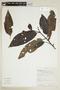 Virola elongata (Benth.) Warb., ECUADOR, F