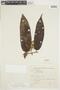 Virola elongata (Benth.) Warb., BRAZIL, F