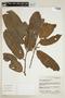 Virola cuspidata (Spruce ex Benth.) Warb., BRAZIL, F