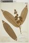 Virola loretensis A. C. Sm., PERU, F