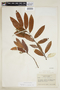 Virola carinata (Benth.) Warb., BRAZIL, F