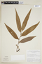 Virola carinata (Benth.) Warb., BOLIVIA, F