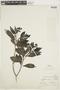 Psychotria alba image