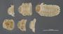 2031 Aporiaria monticola HT V IN n60 hf10