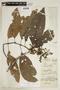 Palicourea rigidifolia image