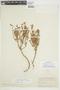 Balbisia gracilis image