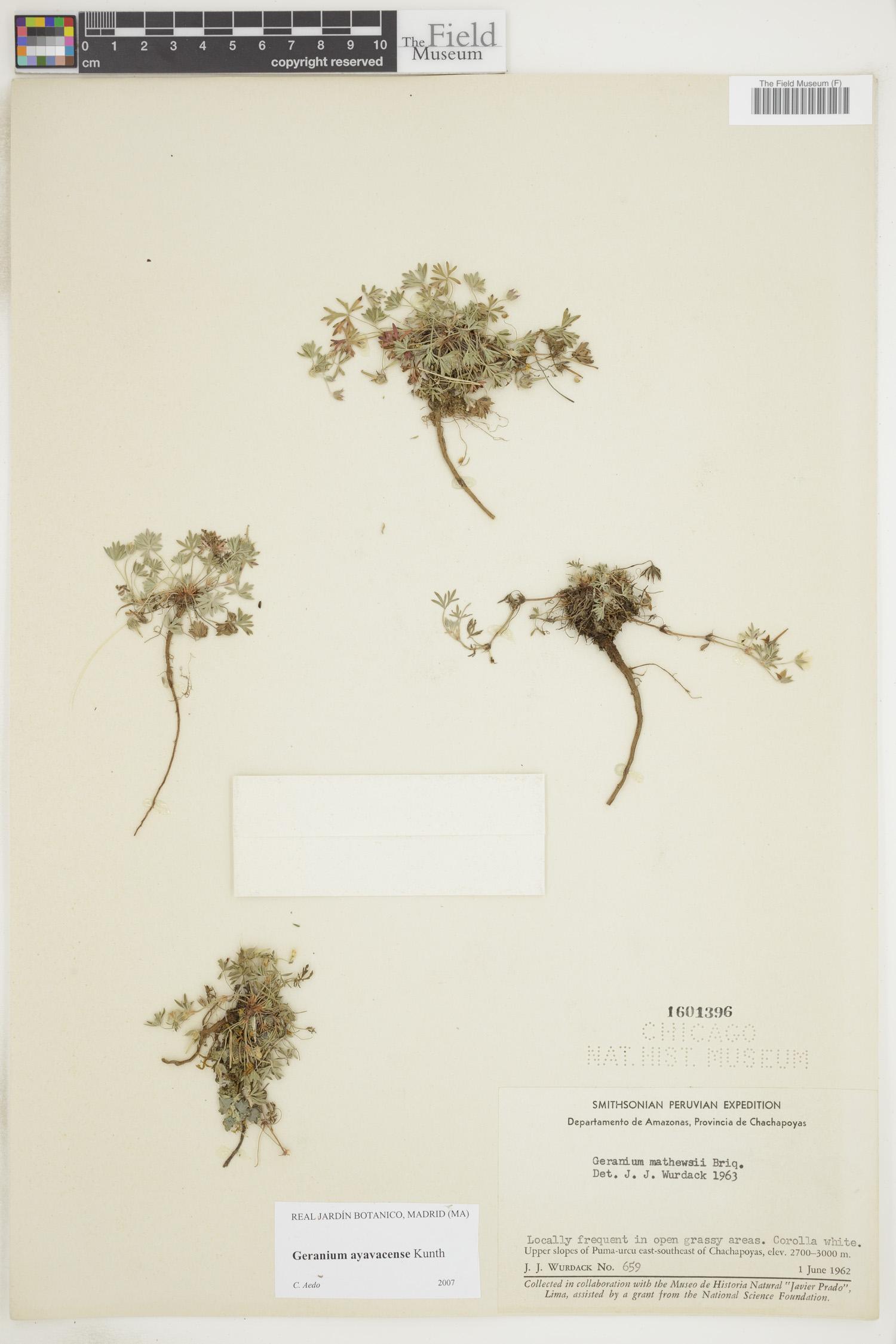 Geranium ayavacense image