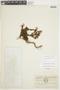 Geranium maniculatum image