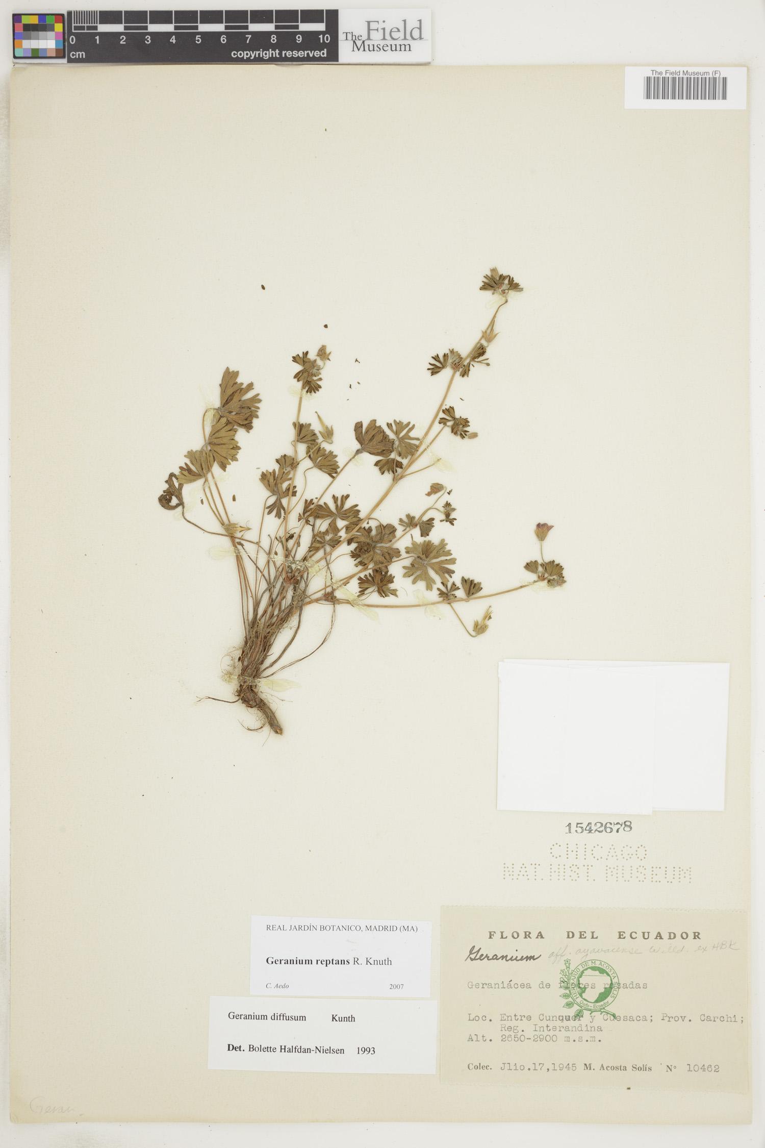 Geranium reptans image
