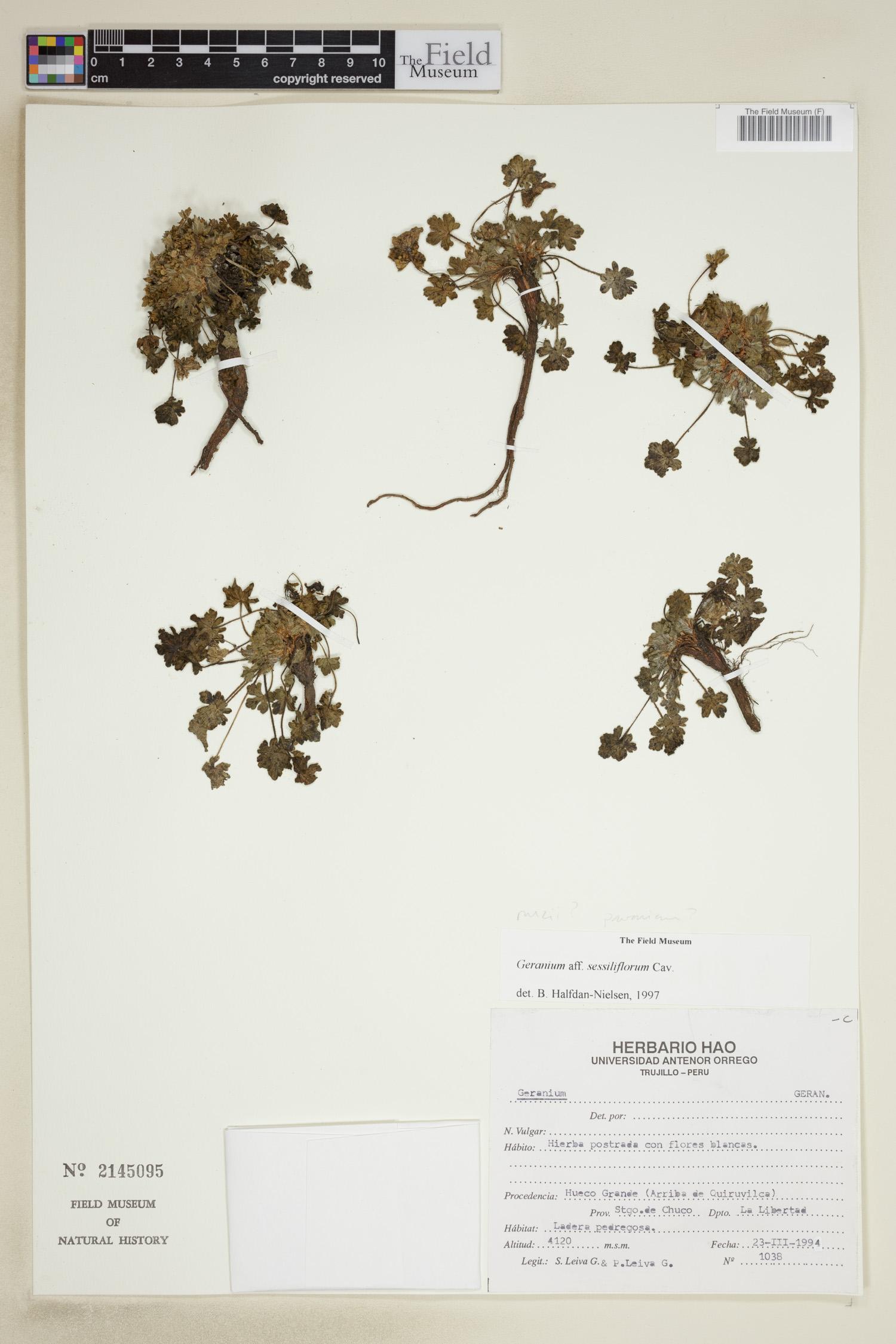 Geranium sessiliflorum image