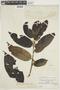 Virola elongata (Benth.) Warb., F