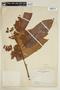 Virola peruviana (A. DC.) Warb., COLOMBIA, F