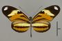 124285 Heliconius ethilla narcaea d IN