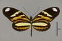 124286 Heliconius ethilla polychrous d IN