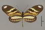124286 Heliconius ethilla polychrous v IN