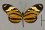 124287 Heliconius ethilla narcaea d IN