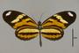 124288 Heliconius ethilla narcaea d IN