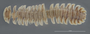 938 Ophrydesmus exilis HT D IN n60 hf12