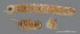 1017 Nearctoma cuzconum HT V IN n60 hf13