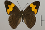 124749 Adelpha sp d IN