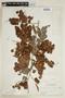 Combretum fruticosum (Loefl.) Stuntz, P. H. Gentle 418, F