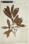 Calophyllum brasiliense var. rekoi (Standl.) Standl., W. A. Schipp 434, F