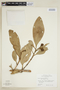 Clusia lundellii Standl., P. H. Gentle 5172, F