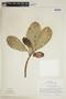 Clusia lundellii Standl., B. Maguire 60338, F