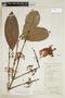 Garcinia intermedia (Pittier) Hammel, W. A. Schipp 1001, F