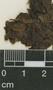 Cyrtopodium punctatum (L.) Lindl., W. Davis 1251, F
