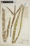 Cyrtopodium punctatum (L.) Lindl., B. E. Dahlgren, F