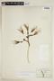 Agave fourcroydes Lem., G. F. Gaumer 375, F