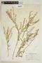 Lepidium virginicum L., P. C. Standley 60911, F