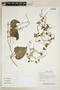 Boussingaultia leptostachys Moq., R. Torres C. 12654, F