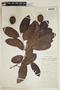 Couepia polyandra (Kunth) Rose, W. A. Schipp 569, F