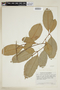 Calophyllum brasiliense var. rekoi (Standl.) Standl., J. A. Steyermark 44502, F